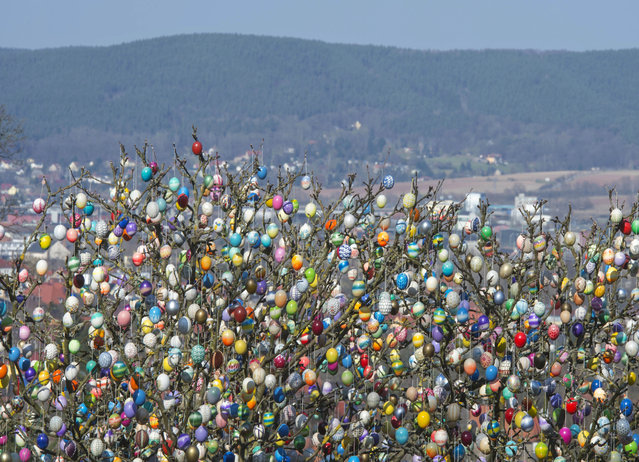 An apple tree decorated with about 10,000 painted Easter eggs stands in the garden of retired couple Christa and Volker Kraft in Saalfeld, central Germany, Saturday, March 28, 2015. The Kraft family has decorated their tree for Easter for more than forty years. This is the last year they have done this, as climbing the ladder has become too arduous. (Photo by Jens Meyer/AP Photo)
