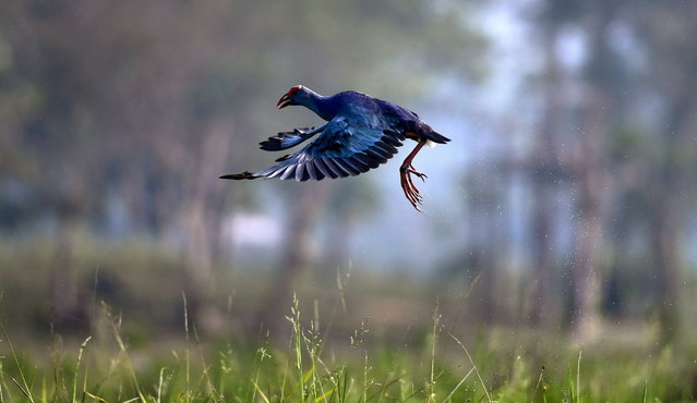 A Purple moorhen flies at Chandubi Lake in Kamrup (metro) district of Assam, India, 29 December 2018. Chandubi Lake is a major tourist destination of Assam where tourists come in large numbers for picnic during this time of the season. (Photo by EPA/EFE/Stringer)