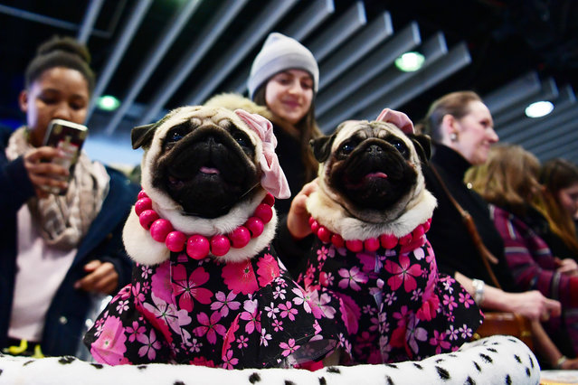 """Pugs nicknamed """"The Pugdashians"""" attend the Meet The Breed event at Piers 92/94 ahead of the 143rd Westminster Kennel Club Dog Show on February 09, 2019 in New York City. (Photo by Sarah Stier/Getty Images)"""