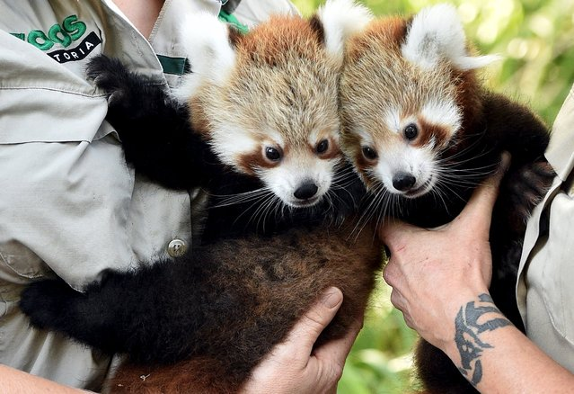 Red Panda cubs Mandu (L) and Keta, who were born in December last year, are held by their keepers as they prepare to be vacinated during their first public appearance at Melbourne Zoo in Australia March 2, 2016. (Photo by Julian Smith/Reuters/AAP)