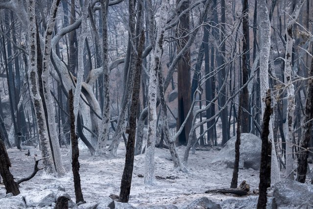 A forest of ashen trees appear as if in a winter scene in the wake of flames as the Windy Fire continues tp spread on September 27, 2021 south of California Hot Springs, California. The wildfire has burned through numerous groves of giant sequoia trees and is now threatening small communities scattered throughout the Southern Sierra foothills in Sequoia National Forest, south of Sequoia National Park and Giant Sequoia National Monument. The lightning-caused fire has expanded to more than 82,000 acres and is two percent contained. (Photo by David McNew/Getty Images)