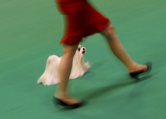 A handler shows a Maltese during the first day of the Crufts Dog Show in Birmingham, Britain March 10, 2016. (Photo by Darren Staples/Reuters)