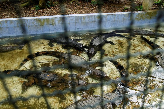 West African Slender-snouted Crocodiles are pictured in the water of their enclosure at the zoo of Abidjan, Ivory Coast October 28. 2016. (Photo by Luc Gnago/Reuters)