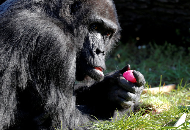 Western lowland gorilla Fatou eats a hard-boiled Easter Egg during a media event at the Zoo in Berlin, Germany, April 16, 2019. (Photo by Fabrizio Bensch/Reuters)