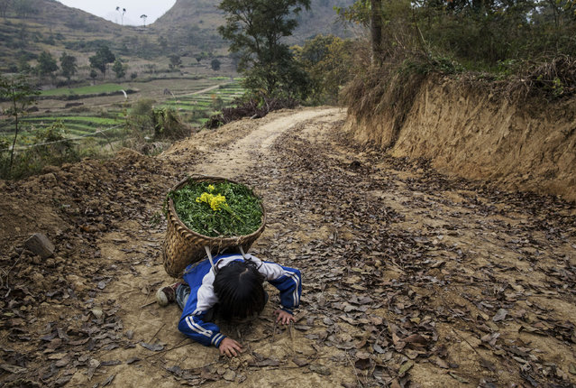 """""""Left behind"""" child  Luo Hongni, 11, collapses from the weight as she carries flowers while doing chores in the fields on December 18, 2016 in Anshun, China. (Photo by Kevin Frayer/Getty Images)"""