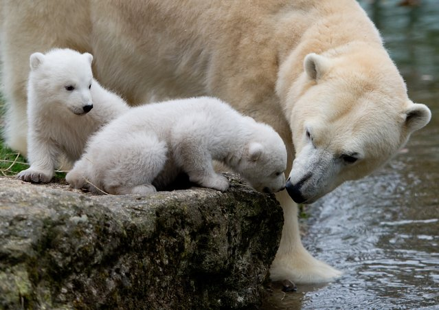 Two 14-week old polar bear twins explore their enclosure at the Hellabrunn Zoo for the first time in Munich, Germany, March 19, 2014. The cubs who were born on March 9, 2014 were introduced to the public on the morning of March 19. (Photo by Sven Hoppe/EPA)