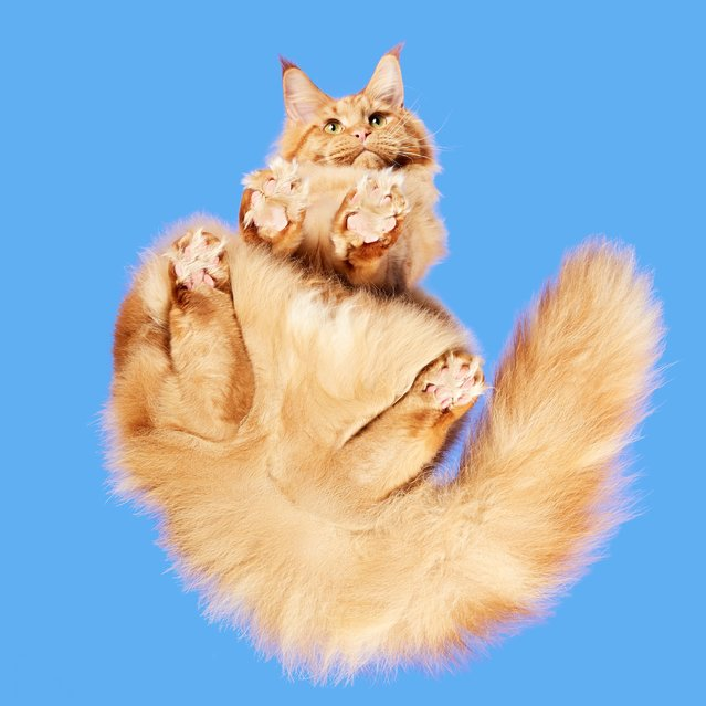 In his adorable series of images, photographer Andrius Burba takes a look at all kinds of furry and fantastic moggies – from underneath. From furry fluff-balls to hairless kitties, felines from all corners of the globe make up the creative photographer's latest project. Andrius, from Lithuania, created a technique whereby his camera is hidden in a Perspex box, that the cats are encouraged to walk across – resulting in some truly wonderful captures. (Photo by Andrius Burba/Caters News Agency/Underlook)