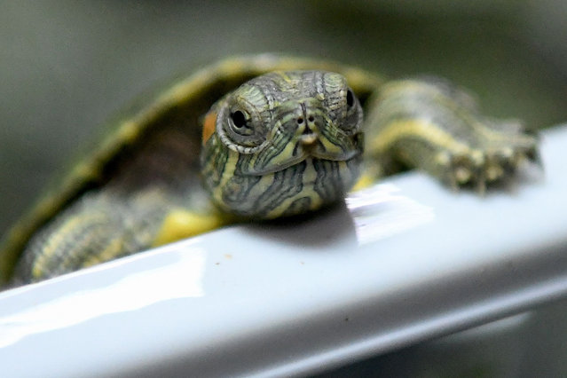 A seized red-eared slider tortoise is pictured during a press conference at the customs authorities building in Sepang on June 26, 2019 after a foiled smuggling attempt by a syndicate. (Photo by Mohd Rasfan/AFP Photo)
