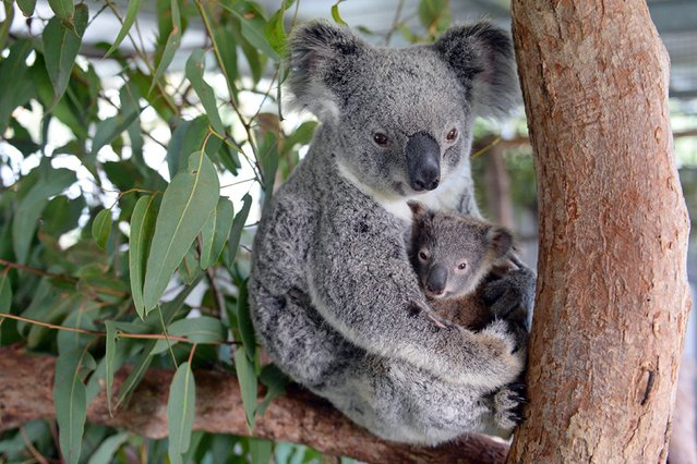 """This undated handout picture taken recently by Ben Beaden and released to AFP by the Australia Zoo on June 16, 2015 shows Koala mum named """"Lizzy"""" cuddling her baby """"Phantom"""" at the Australia Zoo Wildlife Hospital at Beerwah in Queensland state. Lizzy is recovering well after her surgery last week while Phantom is putting on weight as well which is a great sign for the health of both mother and baby. (Photo by Ben Beaden/AFP Photo)"""