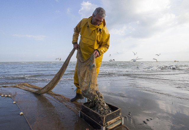 Bernard Debryune, a Belgian shrimp fisherman for the last 36 years, empties his net after a shrimp fishing session during low tide at the coastal town of Oostduinkerke, Belgium July 3, 2015. (Photo by Yves Herman/Reuters)