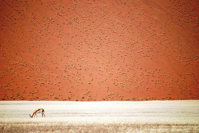 A Springbok grazes in the Namibian desert near Swakopmund, Erongo. (Photo by Doris Landertinger/2016 National Geographic Travel Photographer of the Year Contest)