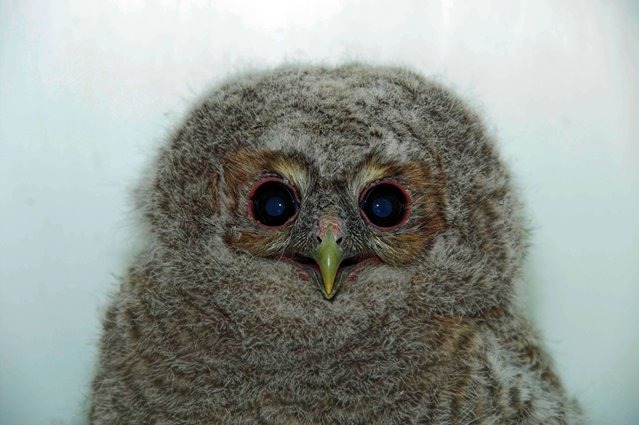 Undated handout photo issued by Scottish SPCA of a tawny owlet who attracted the attention of two cats after falling out of a tree and is now recovering in the Scottish SPCA's care,. Scotland's animal welfare charity was alerted on 17 April when a member of the public discovered the bird grounded in woodland close to Killermont View in Beardsen, Glasgow. (Photo by Scottish SPCA/PA Wire)