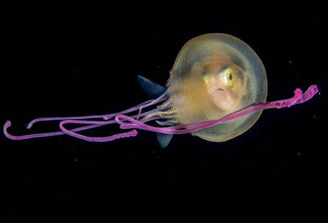 A juvenile jackfish peers out from inside a small jellyfish, which it has adopted as an overnight travelling shelter, off Tahiti in French Polynesia. (Under Water category). (Photo by Fabien Michenet)