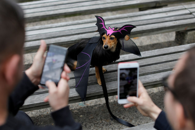 People photograph Dita the Doxle dog, dressed as a bat, at the Tompkins Square Halloween Dog Parade in Manhattan, New York City, U.S., October 20, 2019. (Photo by Andrew Kelly/Reuters)