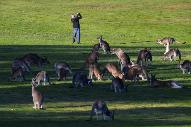 Canberra resident Bruce Gibbons is seen surrounded by grazing kangaroos as he plays a shot during a session on a practice fairway at Gold Creek Golf Club in Canberra, Australia, May 16, 2017. (Photo by Lukas Coch/Reuters/AAP)