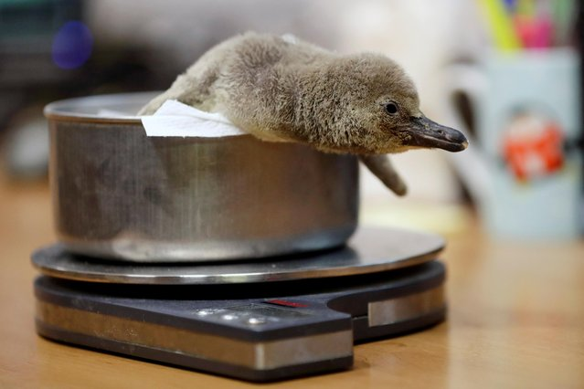 A newly born penguin is weighed at Prague Zoo in Prague, Czech Republic on November 11, 2019. (Photo by David W. Cerny/Reuters)