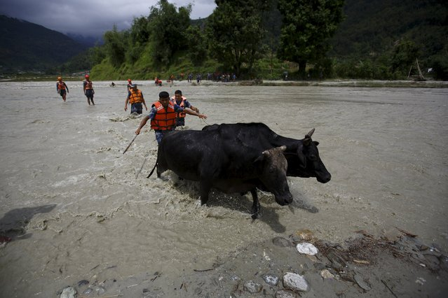 Rescue team members help oxen to cross a flooded river after the trail bridge was washed away due to heavy rainfall in Kaski District July 31, 2015. (Photo by Navesh Chitrakar/Reuters)