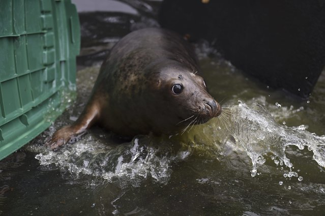 A Common seal named Stan Lee is herded into his transfer cage prior to his release at Seal Rescue Ireland wildlife sanctuary where two rescued and rehabilitated seals are released back into the sea after months of care in Wexford, Ireland, June 12, 2016. (Photo by Clodagh Kilcoyne/Reuters)
