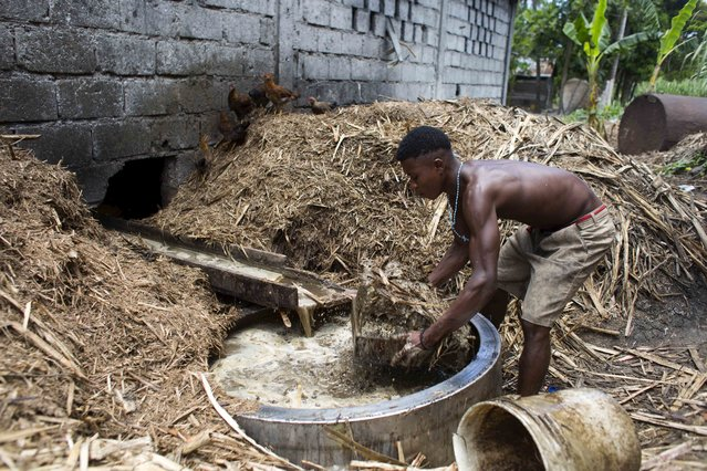 In this June 19, 2017 photo, Gabriel Shnaider, 22, removes bagasse, the leftover fiber after pressing juice from sugar cane, at the Ti Jean distillery which produces clairin, a sugar-based alcoholic drink, in Leogane, Haiti. The bagasse is later used to feed the fire that will cook the fermented juice. (Photo by Dieu Nalio Chery/AP Photo)
