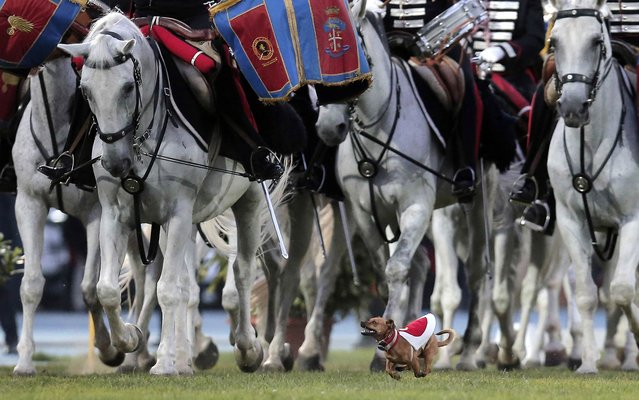 """Italian Carabinieri dog mascotte runs as Italian Carabinieri knights perform the traditional """"Carousel"""" during the military parade to mark the 200th anniversary of the Carabinieri Corps Foundation at Primo Nebiolo Stadium, in Turin, on July 14, 2014. (Photo by Marco Bertorello/AFP Photo)"""