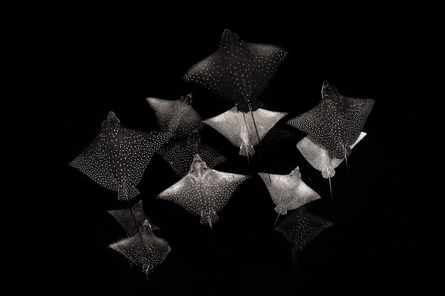 Black-and-white category runner-up: Constellation of Eagle Rays by Henley Spiers (UK) in Como Cocoa, South Malé Atoll, Maldives. A school of spotted eagle rays. (Photo by Henley Spiers/Underwater Photographer of the Year 2020)