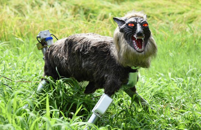 "A wolf-like robot ""Super Monster Wolf"" stands beside a rice field to drive away wild animals that cause damages to crops in Kisarazu, Chiba prefecture, on August 25, 2017. The agricultural coopetative association JA Kisarazu-shi introduced the 65cm-long and 50cm-high robot recently on a trial basis which can detect wild animals such as boars and deers with an infrared ray sensor when they approach and intimidates them, flashing the red LED eyes and blaring 48 types of sounds including a wolf growl and human voice. (Photo by Toru Yamanaka/AFP Photo)"