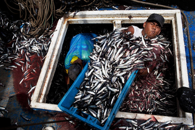 """In this December 7, 2012 photo, Marvin Vega unloads a crate of anchovies from the holding area of a """"boliche"""", the Peruvian term for boats that are used by fishermen who fish with nets, at the port of El Callao, Peru. (Photo by Rodrigo Abd/AP Photo)"""