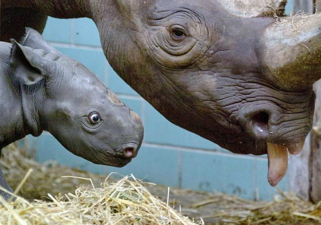 "Four-day-old female black rhinoceros calf ""Akili"" stands next to her mother in their enclosure at the Zoo in Berlin, Germany, on August 10, 2012. (Photo by Gero Breloer/AP)"