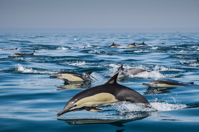Migrating dolphins reach Port Alfred on their trip up the Eastern Cape on August 12, 2014 in Port Alfred, South Africa. Thousands of dolphins dive through the sparkling waters as they migrate along the Eastern Cape of South Africa. Photographer couple Silke and Rainer Schimpf followed the dolphins for seven months before shooting the spectacular images. (Photo by Rainer Schimpf/Barcroft Media)