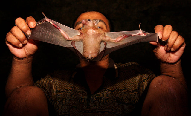 Bat catcher Gunawan displays a bat captured in a cave on July 31, 2009 in Yogyakarta, Indonesia