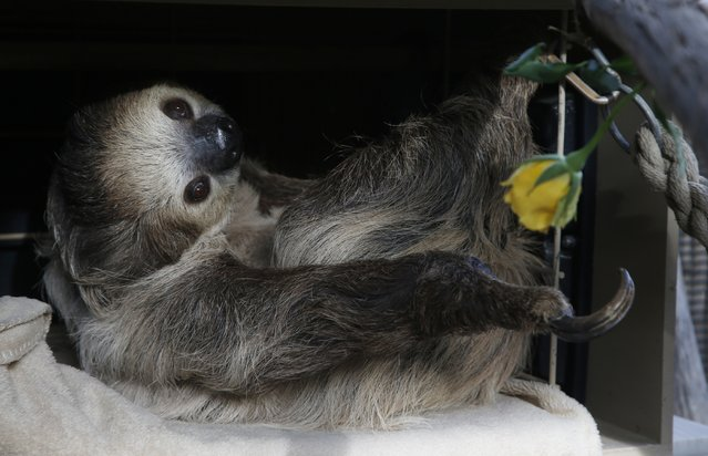 Fernando, the two-toed sloth, reaches for a yellow rose to eat inside his habitat at the Phoenix Zoo Monday, April 27, 2020, in Phoenix.  The pandemic has jeopardized zoos around the world that have been forced to close but rely on ticket sales. The struggle has some zoos turning to social media to engage with people who can no longer visit and raise some much-needed cash. (Photo by Ross D. Franklin/AP Photo)