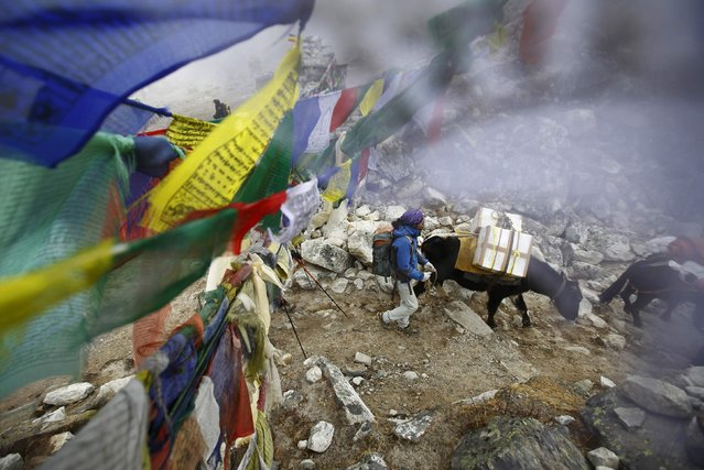 Yaks walk past prayer flags as they carry goods back from Everest base camp in Solukhumbu District May 5, 2014. (Photo by Navesh Chitrakar/Reuters)