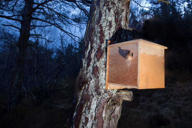 """""""Early the next morning, the urge to feed forces the squirrel out into its new woodland home in Shieldaig"""". (Photo by Peter Cairns/British Wildlife Photography Awards 2017)"""