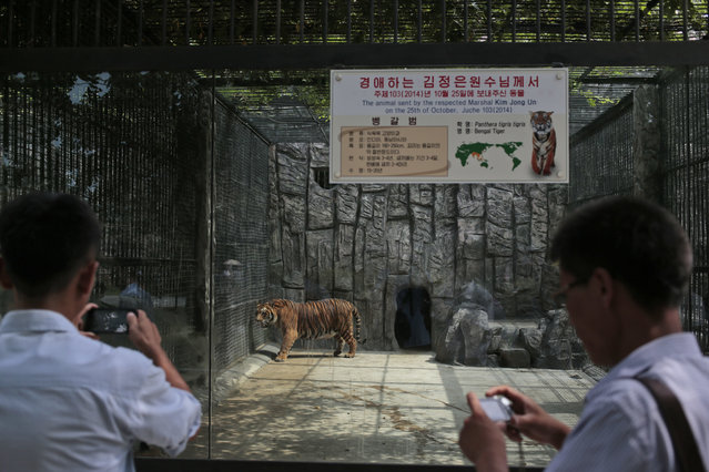 North Korean men take pictures of a tiger at the newly opened Central Zoo in Pyongyang, North Korea, Tuesday, August 23, 2016. (Photo by Dita Alangkara/AP Photo)