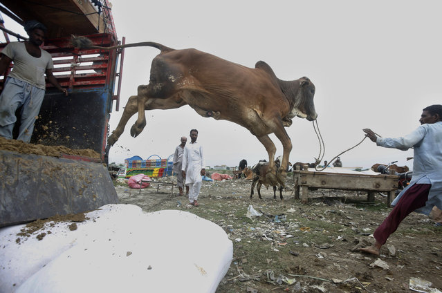 Vendors unload a bull after arriving at a cattle market set up for the upcoming Muslim festival of Eid al-Adha in Lahore, Pakistan, Monday, July 20, 2020. Eid al-Adha, or Feast of Sacrifice, is the most important Islamic holiday marks the willingness of the Prophet Ibrahim (Abraham to Christians and Jews) to sacrifice his son. (Photo by K.M. Chaudary/AP Photo)