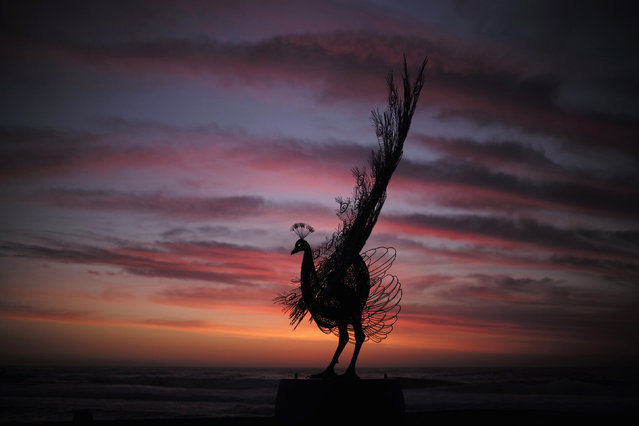 "A peacock sculpture by Byeong Doo-moon titled ""Our memory in your place"" is shown before sunrise at Tamarama Beach October 23, 2014. (Photo by Jason Reed/Reuters)"