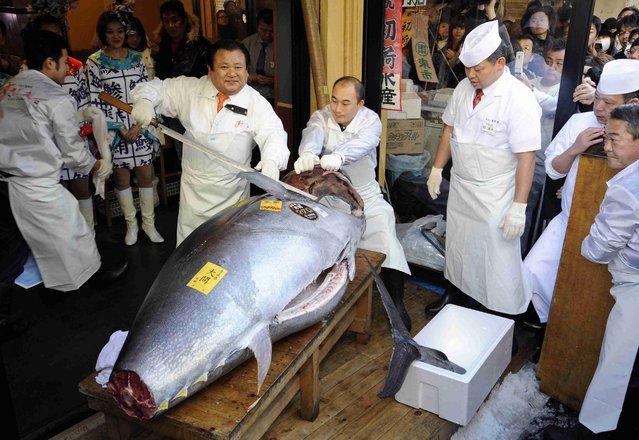 President of sushi restaurant chain Sushi-Zanmai, Kiyoshi Kimura, displays a 222kg bluefin tuna at his main restaurant near Tokyo's Tsukiji fish market on January 5, 2013. The bluefin tuna was traded at 155.4 million yen (1.77 million USD) at the wholesale market, smashing a previous record. (Photo by Yoshikazu Tsuno/AFP Photo)