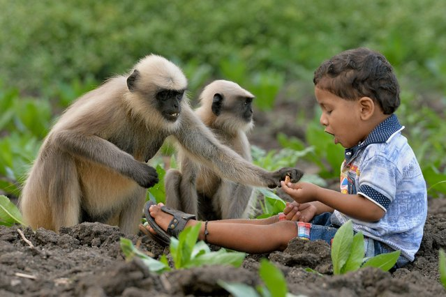 In this photograph taken on December 7, 2017, Indian child Samarth Bangari, 2, feeds langur monkeys in a field near his home in Allapur in India' s southwest Karnataka state. (Photo by Manjunath Kiran/AFP Photo)