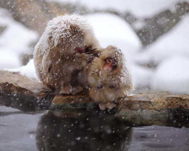 "Mother and Child. Snow monkey at ""Jigokudani hot-spring"" in Nagano, Japan. (Kiyoshi Ookawa)"