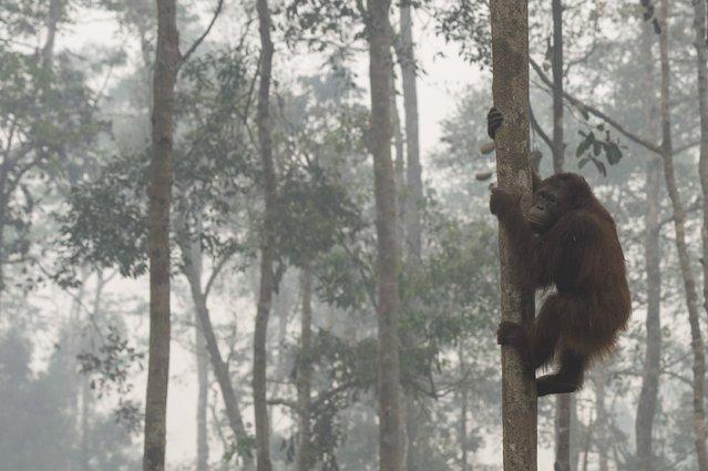 An orangutan climbs a tree as haze shrouds Borneo Orangutan Survival Foundation in Nyaru Menteng, Indonesia's Central Kalimantan province, October 5, 2015 in this photo taken by Antara Foto. (Photo by Rosa Panggabean/Reuters/Antara Foto)