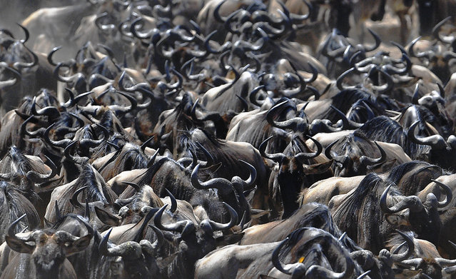 A wildebeest herd is pictured on September 13, 2016 during the annual wildebeest migration in the Masai Mara game reserve. (Photo by Carl De Souza/AFP Photo)