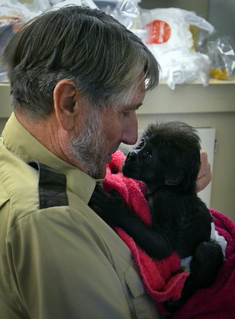 In this Friday, February 15, 2013, photo, CGladys Porter Zoo Director Jerry Stones holds a seventeen day old female baby gorilla at the Gladys Porter Zoo in Brownsville, Texas.  The gorilla born last month at a South Texas zoo has been ignored by her mother so the animal will be sent to an Ohio zoo and introduced to a new troop. (Photo by Christian Rodriguez/AP Photo/The Brownsville Herald)