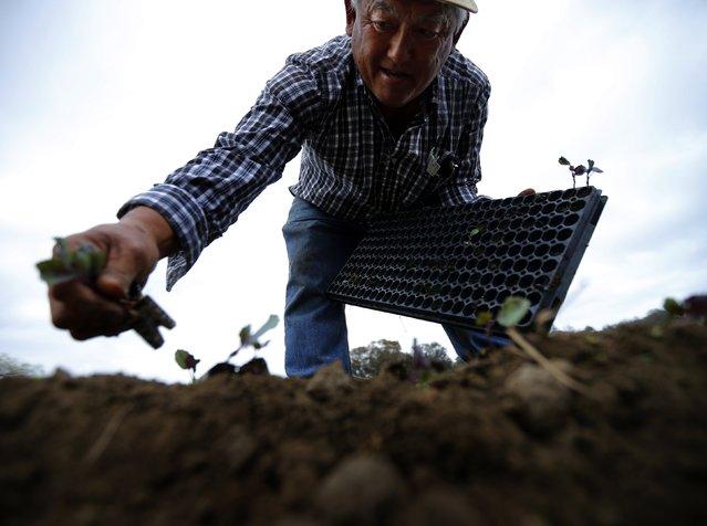 Farmer Tom Chino plants Yuchoi Sun transplants on his family farm in Rancho Santa Fe, California March 4, 2013. (Photo by Mike Blake/Reuters)
