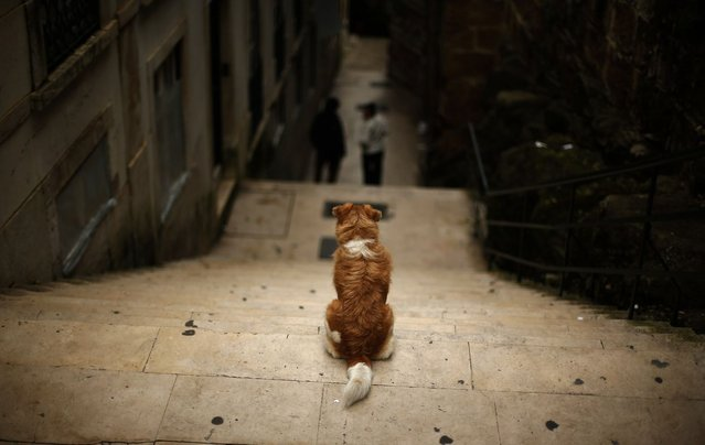 A dog stands on a flight of stairs at the Alfama neighborhood in Lisbon March 25, 2013. (Photo by Rafael Marchante/Reuters)