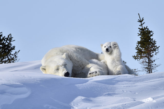 A mother polar bear takes a nap during the day whilst her cub is full of energy and gives the camera a wave, Manitoba, Canada, March, 2015. Things are heating up at the Comedy Wildlife Photography Awards as the shortlisted final 40 entries are revealed. This year's competition has featured over 2200 hilarious entries from around the world with photos including a fox face planting in the snow, a dancing brown bear and a pair of seemingly headless penguins – all beautifully photographed with perfect comedy timing and a strong conservation message. (Photo by Philip Marazzi/Barcroft Images/Comedy Wildlife Photography Awards 2016)