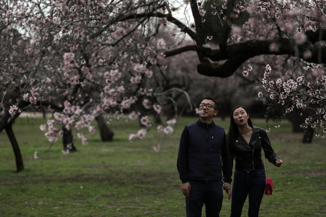 A couple reacts as they see almond blossoms at a park in Madrid, Spain, March 13, 2018. (Photo by Susana Vera/Reuters)