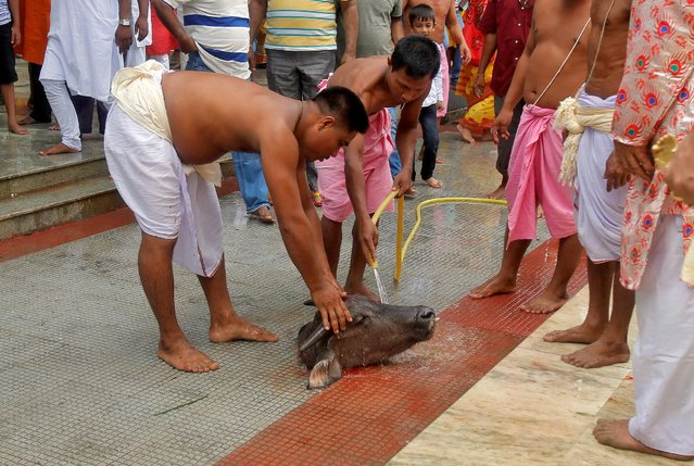 Hindu priests wash the head of a buffalo calf which was sacrificed as part of a ritual at a temple during the Durga Puja festival in Agartala, India, October 10, 2016. (Photo by Jayanta Dey/Reuters)