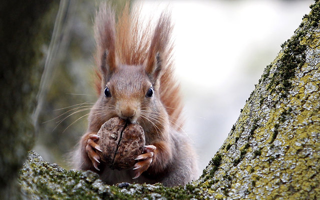 A red squirrel sits in a tree as it holds a walnut in Frankfurt's city centre April 19, 2013. (Photo by Lisi Niesner/Reuters)