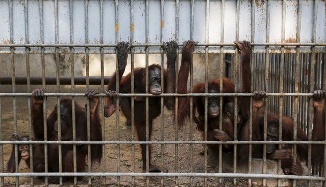 Orangutans look on in a cage at Kao Pratubchang Conservation Centre in Ratchaburi, Thailand, November 11, 2015. (Photo by Athit Perawongmetha/Reuters)