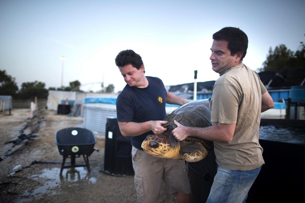 Sea Turtle Transferred From Israel to Turkey